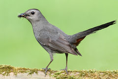 Gray Catbird (Dumetella carolinensis). On a moss covered log Stock Photography