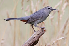 Gray Catbird (Dumetella carolinensis). On a log in a field Stock Images