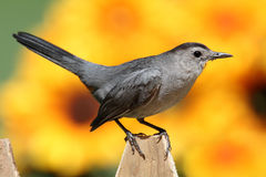 Gray Catbird (Dumetella carolinensis). On a fence with flowers and a colorful background of sunflowers Royalty Free Stock Photos