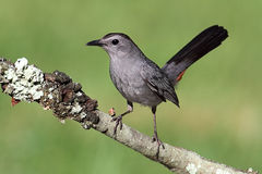 Gray Catbird (Dumetella carolinensis). On a branch with a green background Royalty Free Stock Images