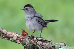 Gray Catbird (Dumetella carolinensis). Gray Catbird (Dumetella carolinensis) on a branch with a green background Royalty Free Stock Photo