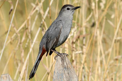 Gray Catbird (Dumetella carolinensis). On a fence in a field Royalty Free Stock Photography