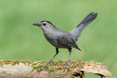 Gray Catbird (Dumetella carolinensis). On a mossy log with a green background Stock Photos