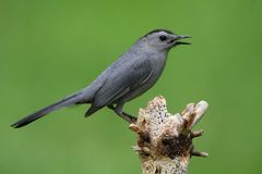 Gray Catbird (Dumetella carolinensis). On a branch with a green background Stock Photography