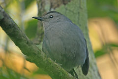 Gray Catbird (Dumetella carolinensis). Sitting on a tree Stock Photo