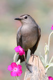 Gray Catbird Dumetella carolinensis. Gray Catbird (Dumetella carolinensis) on a fence with flowers Stock Image