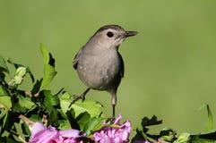 Gray Catbird Dumetella-carolinensis Royalty-vrije Stock Foto