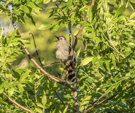 Gray catbird,Dumetella carolinensis. Gray catbird, Dumetella carolinensis, also spelled grey catbird, is a medium-sized North American bird Royalty Free Stock Images