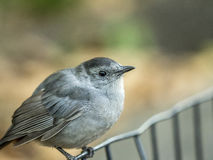 Gray catbird,Dumetella carolinensis Royalty Free Stock Photos
