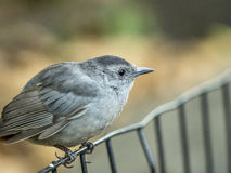 Gray catbird,Dumetella carolinensis Stock Photography