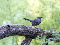 Gray catbird,Dumetella carolinensis Royalty Free Stock Photo