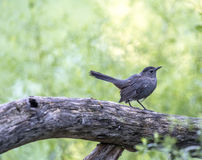 Gray catbird,Dumetella carolinensis. Gray catbird, Dumetella carolinensis, also spelled grey catbird, is a medium-sized North American bird Royalty Free Stock Image