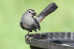 Gray Catbird Dumetella carolinensis. Gray Catbird (Dumetella carolinensis) on a bird bath Stock Photo