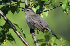 Gray Catbird (Dumetella carolinensis) on a Branch. In early spring Stock Photos