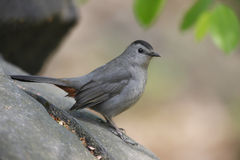 Gray Catbird (Dumetella carolinensis carolinensis). Sitting on a rock Stock Photography