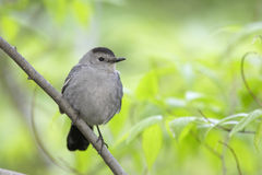 Gray Catbird (Dumetella carolinensis carolinensis). On branch Royalty Free Stock Photo