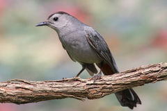 Gray Catbird (Dumetella carolinensis). With a colorful background Royalty Free Stock Image