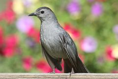 Gray Catbird Dumetella carolinensis. Gray Catbird (Dumetella carolinensis) on a fence with flowers Stock Photo