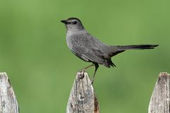 Gray Catbird (Dumetella carolinensis). On a fence with a green background Stock Photography