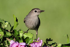 Gray Catbird Dumetella carolinensis. Gray Catbird (Dumetella carolinensis)  with flowers Royalty Free Stock Photo