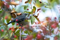 Gray Catbird, Dumetella carolinensis. Gray Catbird amig autumn leaves and berries in Wisconsin Royalty Free Stock Photos