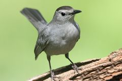 Gray Catbird (Dumetella carolinensis) on a log. Gray Catbird (Dumetella carolinensis) on a  log with a green background Stock Photography