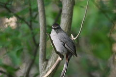 Gray catbird (Dumetella carolinensis). A gray catbird (Dumetella carolinensis) in Ohio, USA Stock Photos