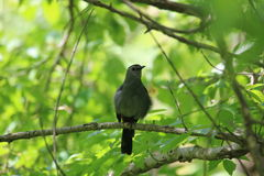 Gray catbird (Dumetella carolinensis). A gray catbird (Dumetella carolinensis) in Ohio, USA Royalty Free Stock Image