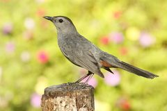 Gray Catbird (Dumetella carolinensis). On a perch with flowers Royalty Free Stock Image