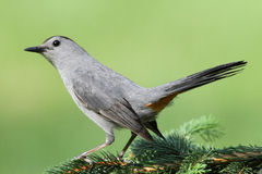 Gray Catbird (Dumetella carolinensis). On a perch with a green background Royalty Free Stock Photography