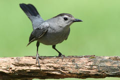 Gray Catbird & x28;Dumetella carolinensis& x29;. Gray Catbird & x28;Dumetella carolinensis& x29; on a perch with a green background Royalty Free Stock Photos
