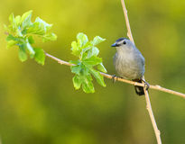Gray Catbird (Dumetella carolinensis). Perched in a tree, Florida Royalty Free Stock Photos