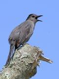 Gray Catbird en tocón del gtree Imágenes de archivo libres de regalías