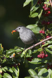 Gray Catbird Feeding Royalty Free Stock Photos