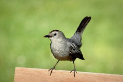Gray Catbird. With a green background Stock Photo