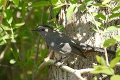 Gray Catbird. A Grey Catbird enjoying the shade of a tree Stock Photo