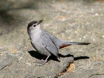 Gray catbird Royalty Free Stock Photo