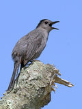 Gray Catbird on gtree Stump Royalty Free Stock Images