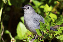 Gray Catbird. Hiding In the Bushes Stock Photos