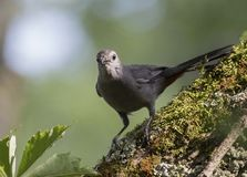 Gray Catbird i skog arkivbilder