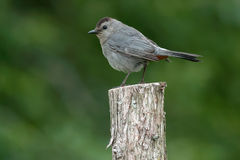 Gray Catbird Stock Photos