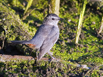 Gray Catbird in Marsh Stock Image