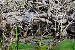 Gray Catbird, Okefenokee Swamp National Wildlife Refuge Royalty Free Stock Photo