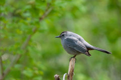 Gray Catbird. Perched on a branch stock photos