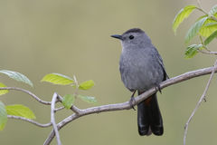 Gray Catbird Perched on a Branch - Ontario, Canada. Gray Catbird (Dumetella carolinensis) perched in a shrub - Ontario, Canada Royalty Free Stock Image