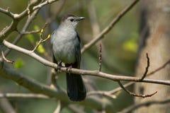 Gray Catbird - Dumetella carolinensis. Gray Catbird perched on a branch. Rosetta McClain Gardens, Toronto, Ontario, Canada Stock Images