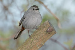 Gray Catbird. Perched on a cut branch Royalty Free Stock Photos