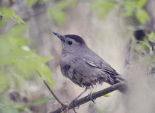 Gray Catbird Perching foto de stock