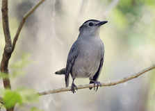 Gray Catbird Perching fotografia de stock royalty free