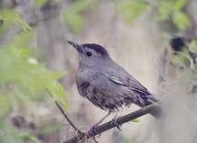 Gray Catbird Perching Stock Photo